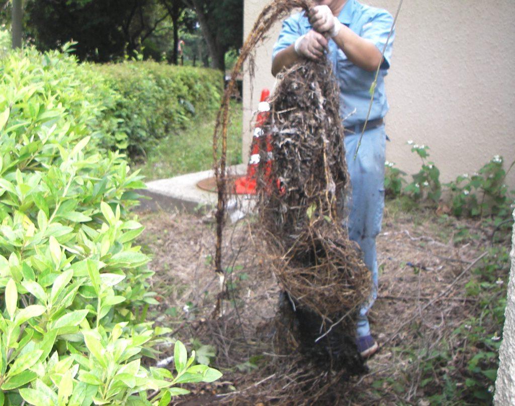 排水管内に詰まっていた植物の根